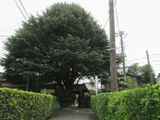 ヒマラヤスギのある小道(Himaraya Cedar)